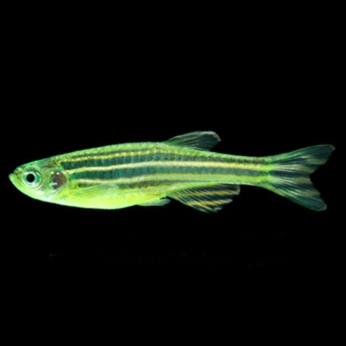 Electric Green Striped Glofish Danio Rerio