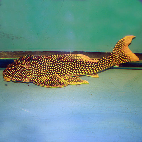 Sunshine Pleco Scobiancistrus Aureatus L014 Medium