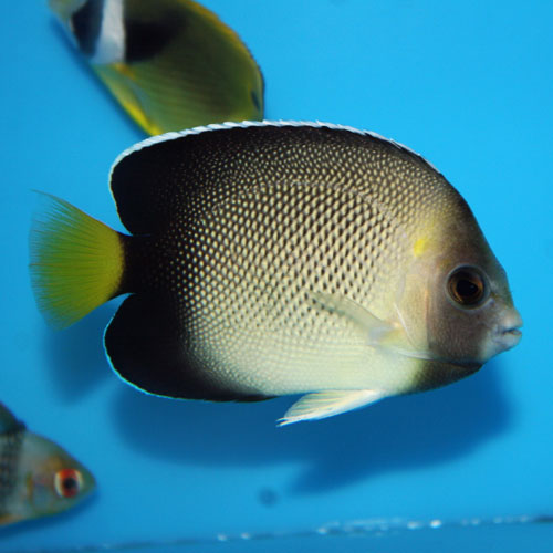 Cream Angel Apolemichthys Xanthurus Medium
