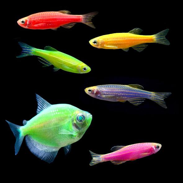 Glofish are life - Jackie and Sal's GMO site+