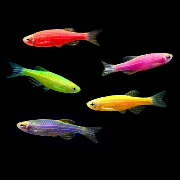 GloFish Danios That Fish Place