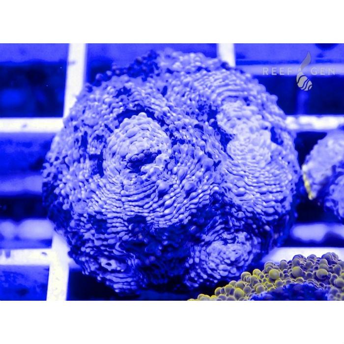 Blue Snowflake Acan Echinata Frag Acanthastrea Echinata Rg