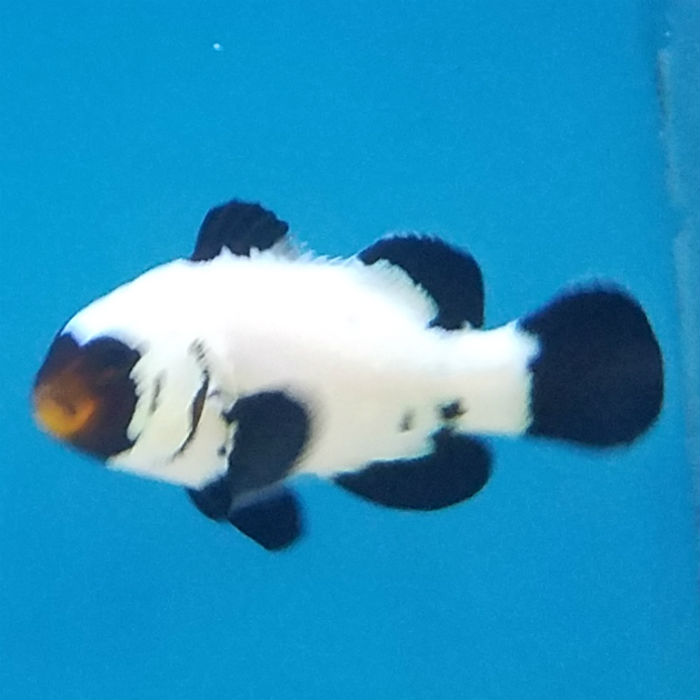 Black Flurry Clownfish Amphiprion Ocellaris Captive Bred Pa