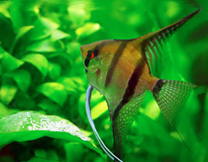 Angelfish for Freshwater Aquariums
