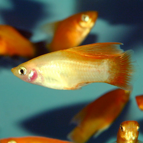 Assorted Hi Fin Platy