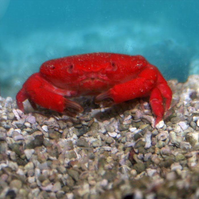 Aquarium And Along With Strawberry Hermit Crab Saltwater Also Amazon ...
