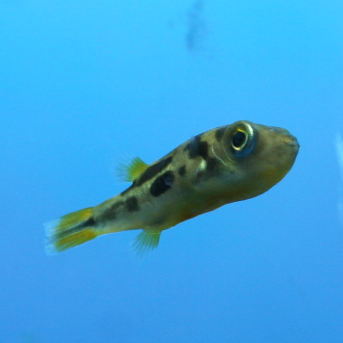 Malabar dwarf puffer carinotetraodon travancoricus for Puffer fish price