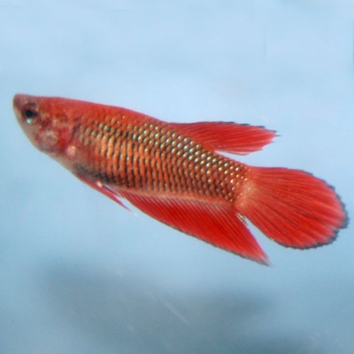 Veiltail Betta Betta Splendens Female