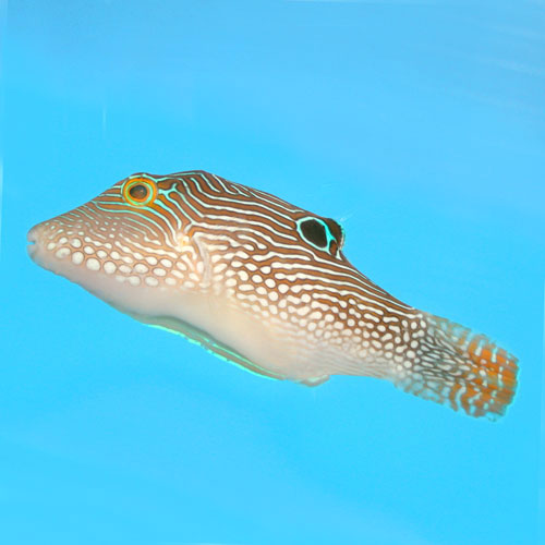False eye puffer sharpnosed puffer solander 39 s toby blue for Puffer fish price