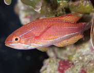 Fairy & Flasher Wrasses