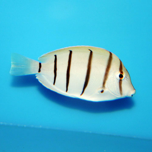 Convict Tang Acanthurus Triostegus Small/medium