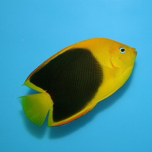 Rock Beauty Angel Holacanthus Tricolor Medium Adult