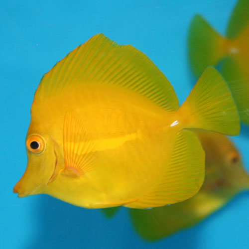 Yellow Tang Zebrasoma Flavescens Large