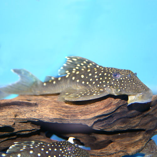 Blue Phantom Pleco Hemiancistrus Sp. L128 Small
