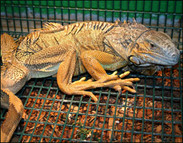 Metabolic Bone Disease in Reptiles