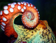Cuttlefish and Octopus