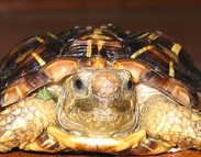 Breeding the Pancake Tortoise