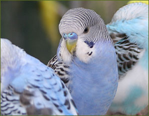 Lumps, Abscesses, Tumors and Swellings on Budgerigars and