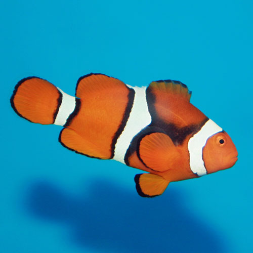 True percula clownfish amphiprion percula orange anemonefish for Clown fish for sale
