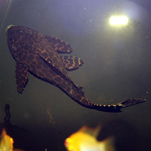 Sail Fin Pleco Pterygoplichthys Gibbiceps Small