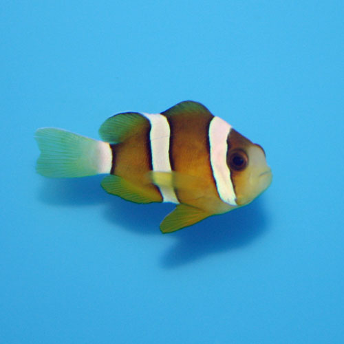 Clarks Clownfish Amphiprion Clarkii Medium Captive Bred