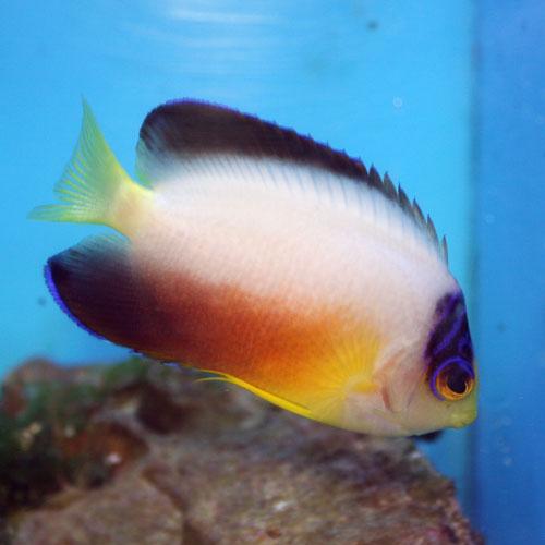 Multicolor Pygmy Angel Centropyge Multicolor Sm/med.