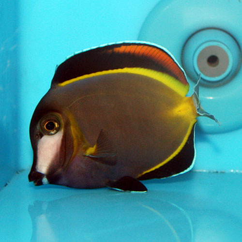 Powder Brown Tang Acanthurus Japonicus Small