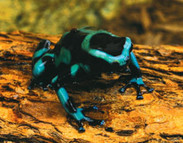 Poison Frogs