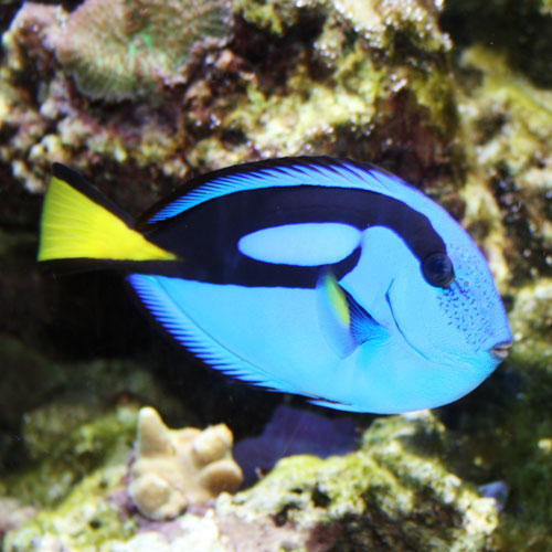 Blue tang regal tang blue surgeonfish indo pacific blue for Blue tang fish price
