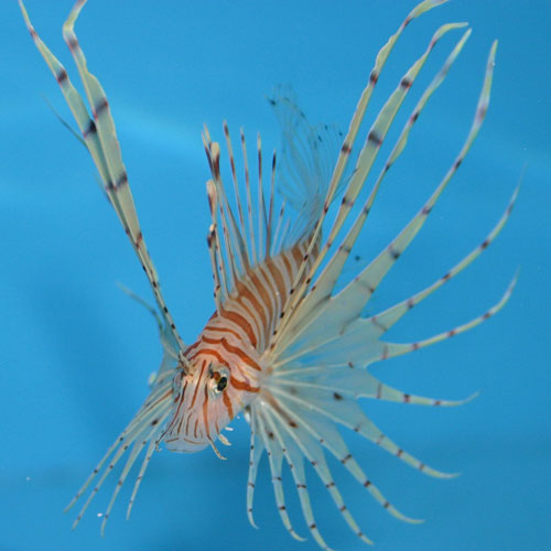 Volitan Lionfish Pterois Volitans Small/medium