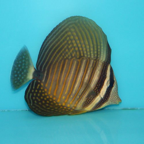 Red Sea Sailfin Tang Zebrasoma Desjardinii Small
