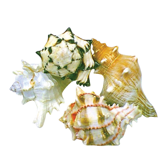Assorted Natural Hermit Shells X Large 1 Pc