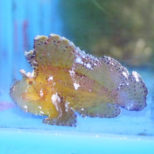Brown Leaf Scorpionfish Taenianotus Triacanthus