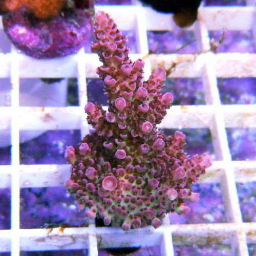 Red Planet Table Coral Frag Acropora Sp. Ora