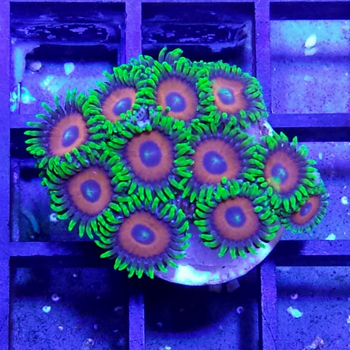 Ultra Eagle Eye Polyp Frag Zoanthus Sp.