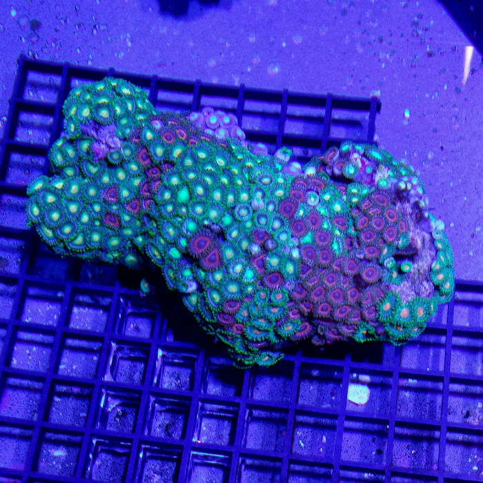 Red And Green Zoanthid Polyp Rock Zoanthus Sp. Medium