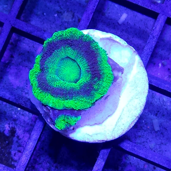 Green Ring Echinata Frag Acanthastrea Echinata