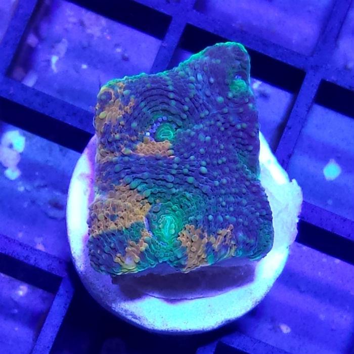 Radioactive Echinata Frag Acanthastrea Echinata