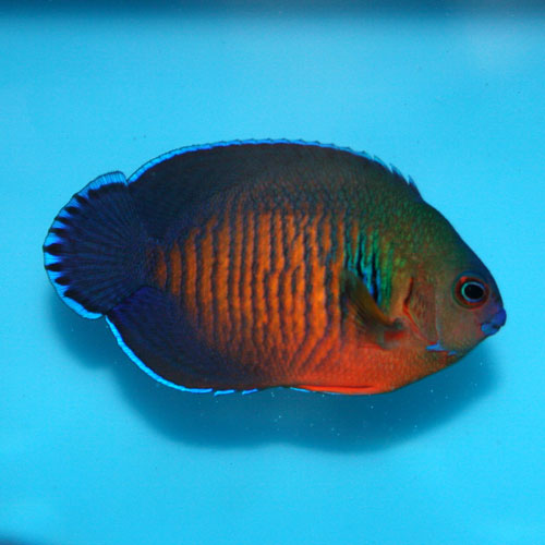 Fiji Coral Beauty Pygmy Angel Centropyge Bispinosa Small