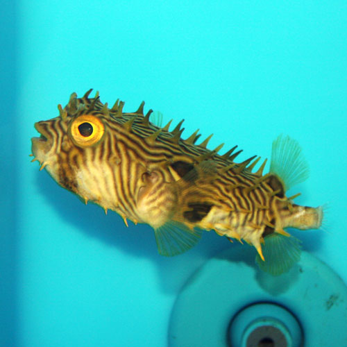 Striped Burrfish Chilomycterus Schoepfii Medium