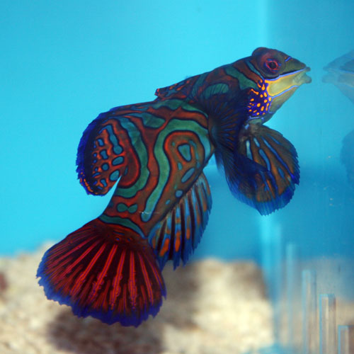 Blue Mandarin Dragonet Synchiropus Splendidus Medium