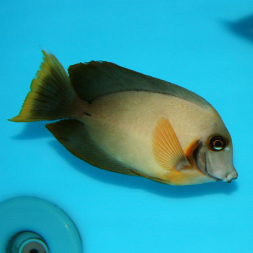 Chocolate Mimic Tang Acanthurus Pyroferus Large