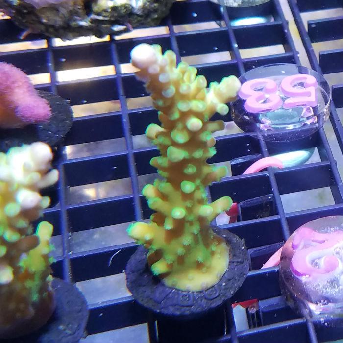 Yellow Tip Green Staghorn Frag Acropora Sp. Ora