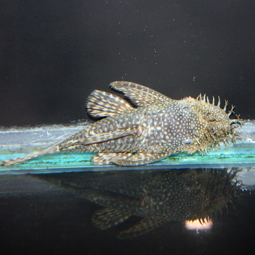 Bushynose/bristlenose Pleco Ancistrus Sp. Medium