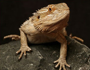 Bearded Dragons