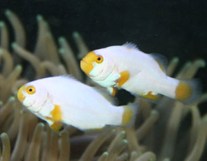 Platinum Clownfish Amphiprion Percula Captive Bred