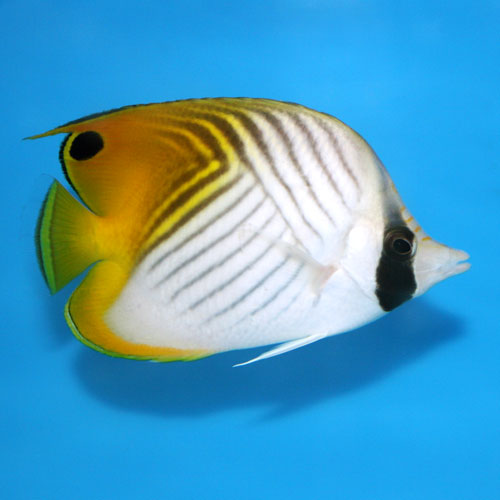 Threadfin Butterfly Chaetodon Auriga Small/medium