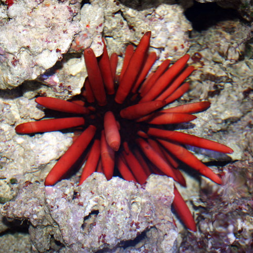 Sea Urchins Buy A Sea Urchin For Your Tank