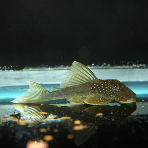 Emerald Pleco Baryancistrus Demantoides L200 Large