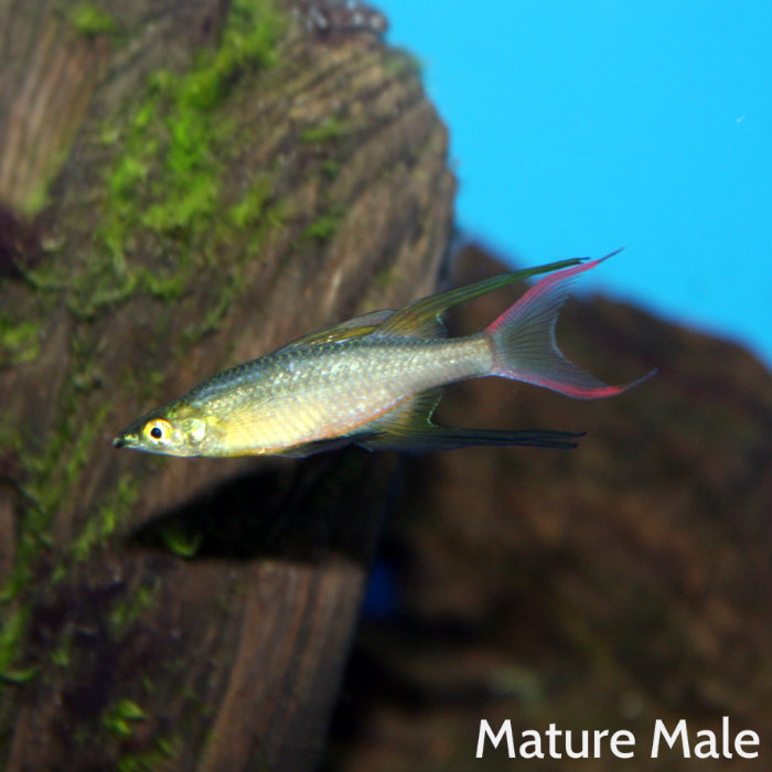 Threadfin Rainbow Iriatherina Werneri
